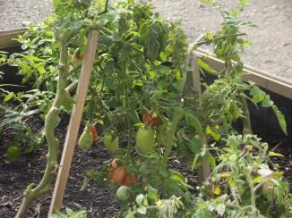 Carré de tomates !
