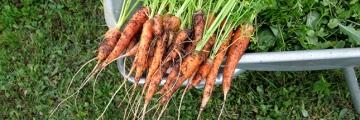 eclaircir-les-carottes-plants-jardin-potager-ban
