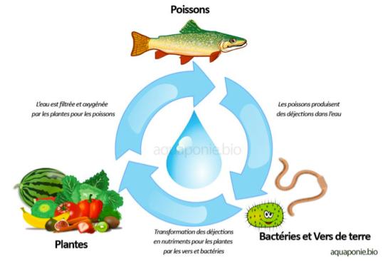 Aquaponie cycle